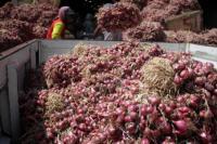 Bea Cukai Bengkalis Musnahkan Ribuan Bawang Merah Ilegal