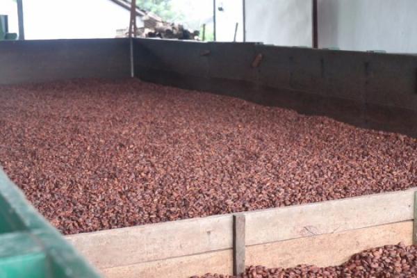 Perdana! Sulawesi Tenggara Ekspor 80 Ton Kakao ke Belanda