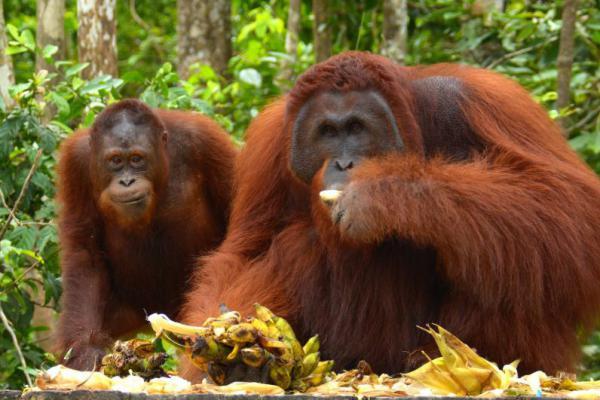 Tak Hanya Manusia, Orangutan Borneo Juga Terserang ISPA