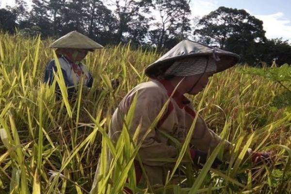 Jelang Panen, Harga Gabah di Bojonegoro Turun